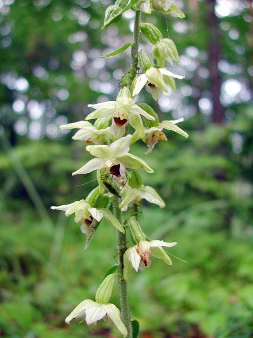 heimische und wildwachsende orchideen in sterreich bilder fotos beschreibungen und noch mehr. Black Bedroom Furniture Sets. Home Design Ideas